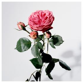 My Burberry Blush Burberry  Perfume Feminino - Eau de Parfum - 50ml